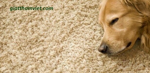Loại bỏ vết bẩn và khử mùi nước tiểu vật nuôi trên thảm
